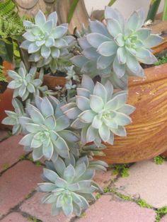 Graptopetalum Graptosedum 'Ghosty' (gray ghost plant)