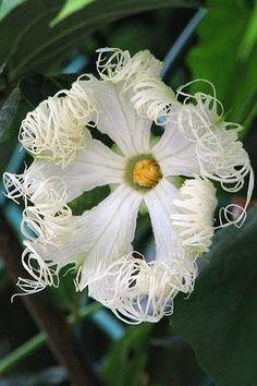 Trichosanthes kirilowii var. japonica by ashitaka-f on Flickr..... by nadine