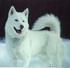 Wonderful All About The Siberian Husky Ideas. Prodigious All About The Siberian Husky Ideas. Le Husky, Alaskan Husky, Husky Puppy, White Siberian Husky, Siberian Huskies, Beautiful Dogs, Animals Beautiful, Amazing Dogs, Puppies