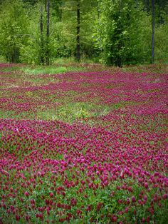 Fields of Red Clover in bloom are rather beautiful! Meadow Garden, Forest Garden, Champs, Clover Field, Modern Agriculture, Organic Compost, Organic Seeds, Permaculture, Garden Planning