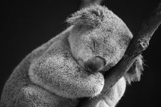 This is a baby koala  This baby koala is sleeping.  This baby koala is sleeping and cuter than you.   Some things are just facts.