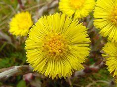 Podběl lékařský, někdy také podběl obecný, je vytrvalá léčivá rostlina s dlouhým plazivým oddenkem.