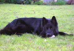 lacquer black german shepherd puppies