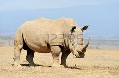 Африканский белый носорог, Национальный парк Кении Фото со стока - 47013385