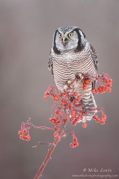 Northern Hawk Owl hits a perch of berries!