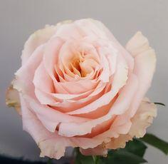 Rose Shimmer - Standard Rose - Roses - Flowers by category Floral Wedding, Wedding Flowers, Rose Varieties, Rose Images, House On A Hill, Types Of Flowers, Autumn Wedding, Vintage Roses, Floral Design