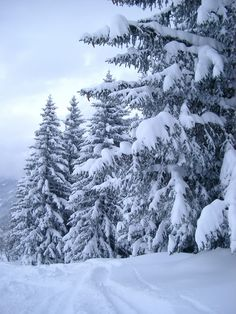 Free stock images of Plenty Tall Fir Trees Covered with Snow During Winter Season. Captured on Very Light Blue Sky Background. Snow Scenes, Winter Scenes, Winter Snow, Winter White, Winter Magic, Milford Connecticut, Snow Pictures, Snow Images, Snowy Trees