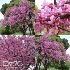 JUDAS TREE (Cercis Siliquastrum) 25+ seeds