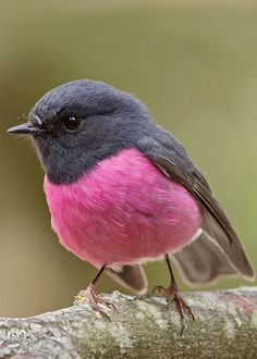 Pink Robin (Petroica rodinogaster) by Tim Collins Tasmania IT'S A REAL THING! The Pink Robin is a small passerine bird native to southeastern Australia. Its natural habitats are temperate forests and subtropical or tropical moist lowland forests. Cute Birds, Pretty Birds, Beautiful Birds, Animals Beautiful, Animals Amazing, Animals And Pets, Baby Animals, Cute Animals, Nature Animals