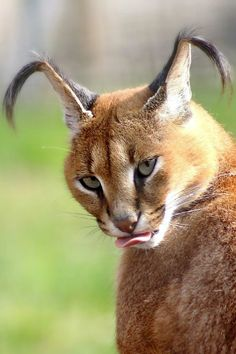 "tulipnight: "" Caracal by home77_Pascale """