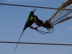 Malachite (in glorious display) and a Southern Double Collared - we sunbirds share regardless of size and colour