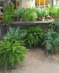 Fern Collection - Ferns, including the prehistoric-looking staghorn and vibrant yellow-green leaved maidenhair, line the left wall.