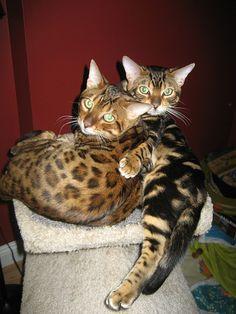 bengal cats <3