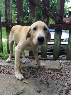 Adopted yellow lab. Thor, 3 months old. First pic at  new home