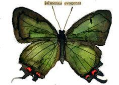 """Jalmenus evagoras"" by Carol Kroll | Redbubble"