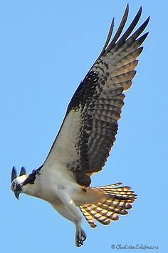 Osprey     Grayton Beach, FL