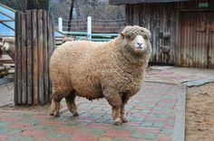 Sheep. Sheeeeeeeee.....zz