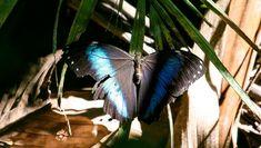 Helenor Morpho (Morpho helenor) - Photo by Benjamin Freeman Moth Species, Butterfly Species, Beautiful Butterflies, Insects, Animals, Butterflies, Fotografia, Animales, Animaux