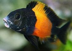 How To Choose A Tropical Fish Aquarium The first decision you must make when you buy an aquarium is whether you plan to keep freshwater fish or saltwater Tropical Fish Aquarium, Freshwater Aquarium Fish, Saltwater Tank, Saltwater Aquarium, Colorful Animals, Colorful Fish, Lac Tanganyika, Cichlid Aquarium, Pet Fish