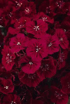 List of red perennials therdenperennials pinterest red dianthus sweet red perennial mightylinksfo