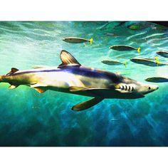 【saya51538】さんのInstagramをピンしています。 《That's so cooooool!!!!! . . . .  #aquarium #アクアリウム #photo #sea #水族館 #cool #shark #サメ #カメラ女子 #写真好きな人と繋がりたい #ootd #today》