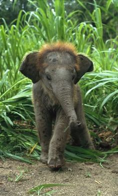 Baby Asian Elephant in Tall Grass Photo Elephant, Elephant Love, Baby Elephants, Cute Baby Animals, Animals And Pets, Funny Animals, Wild Animals, Beautiful Creatures, Animals Beautiful