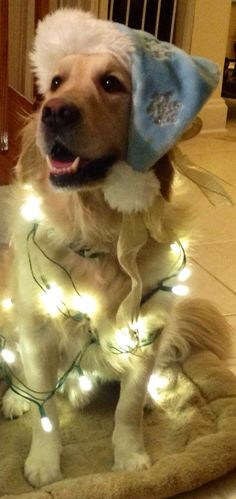 Dog Wrapped in Christmas Lights - With blue snowflake hat!