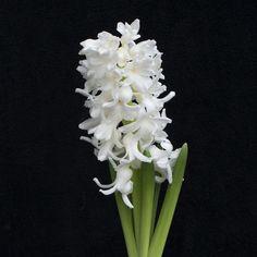 Hyacinthus 'Aiolos': Diese weiße Hyazinthe ist nach dem Gott des Windes benannt. Eine Name, der zu ihr passt: bei Wind und Wetter ziert sie den Garten mit ihren prächtig weißen Blütendolden. Pflanzzeit ist im Herbst - online erhältlich bei www.fluwel.de