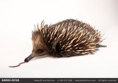 A short nosed echidna reeling the spool in