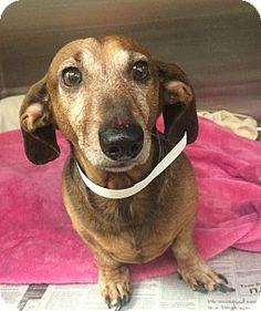 Oak Ridge Nj Dachshund Meet Benny A Dog For Adoption Http Www Adoptapet Com Pet 17578740 Oak Ridge New Jers With Images Dog Adoption Dachshund Dogs Up For Adoption