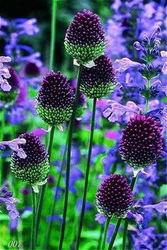 Allium Sphaerocephalon - plant bulbs in autumn, tolerant to most soils. H 60cm & S 8cm