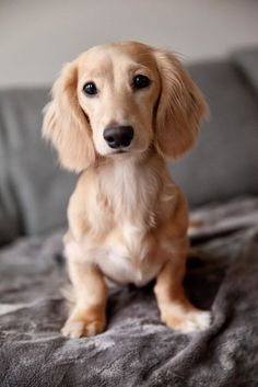13 Reasons Dachshunds Are The Best Dogs Some people call them dachshunds, wiener dogs, sausage dogs or hot dogs but I know that they are the best dogs. Dachshunds are& The post A Beautiful Dachshund Dog appeared first on KC Dogs. Weenie Dogs, Dachshund Puppies, Dachshund Love, Cute Dogs And Puppies, Boxer Dogs, Golden Dachshund, English Cream Dachshund, Doggies, Short Haired Dachshund