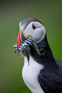 Puffin - Faroe Islands