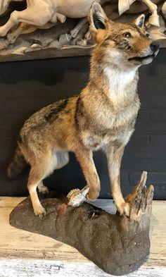 Unique stuffed golden jackal - Full mount. Stuffed animals. Taxidermy animals. - De Jachtkamer