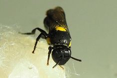 Rare bee offers hope of clean alternative to toxic chemicals Biomimicry Examples, Plastic Problems, Plastic Alternatives, Native Australians, Rare Species, Plastic Pollution, Bee Keeping, Nest, Insects