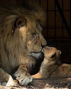 🦁If you Love Lions, You Must Check The Link In Our Bio 🔥 Exclusive Lion Related Products on Sale for a Limited Time Only! Tag a Lion Lover! 📷:Please DM . No copyright infringement intended. All credit to the creators. Big Cats, Cats And Kittens, Cute Cats, Lion Pictures, Animal Pictures, Daily Pictures, Nature Animals, Animals And Pets, Animals Images