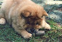 Chow chow puppy - Chow Chow - Wikipedia, the free encyclopedia