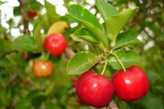 The Barbados Cherry (malpighia emaginata) has 32 times more Vitamin C than orange juice. This red cherry fruit can be found in the southern part of  the USA, Mexico, the Caribbean, Central and South America. The acerola shrub thrives in tropical areas and bears round red, pulpy fruits. It is also known as the West Indian Cherry, Wild Crapemyrtle and popularly, Acerola, the mighty antioxidant cherry.