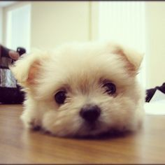 A bichon and a pom puppy? How cute....
