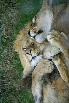 "A Lion Couple: ""Life is so beautiful, when you have the right partner to share… Beautiful Cats, Animals Beautiful, Big Cats, Cats And Kittens, Siamese Cats, Kitty Cats, Animals And Pets, Cute Animals, Animals Kissing"