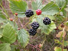 How+to+Care+for+Blackberry+Bushes+