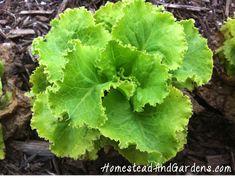 summercrisp lettuce