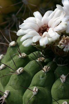 White-flowered cactus Philip Bouchard