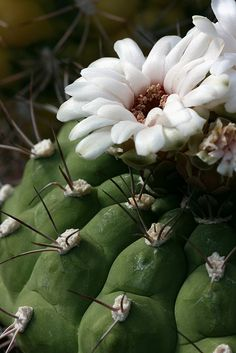 White-flowered cactus
