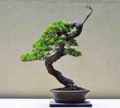 prunus cerasifera plum bonsai cerezo bonsai. Black Bedroom Furniture Sets. Home Design Ideas