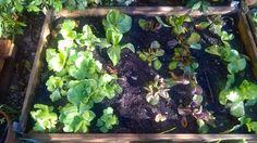 #orto si può fare in #giardino un  #campo o in piccoli  spazi urbani #ortiurbani o recipienti o cassoni in terrazza http://giardinierevalente.blogspot.it/