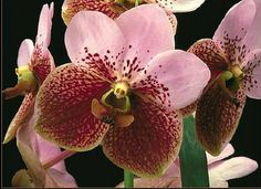 Waling-Waling. The 'Queen of Philippine Orchids'.
