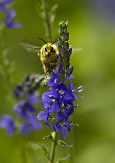 Beautiful Bee in full buzz..