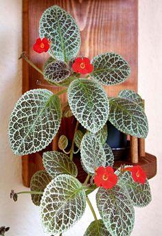 Episcie (Episcia) Zajímavé pokojové květiny   Nápady jedné babči