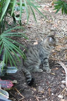 Polydactyl cats at the Hemingway House, Key West, Florida